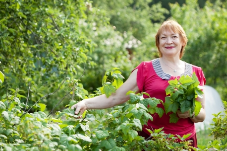 gathers: Mature woman gathers currant leaves in spring garden