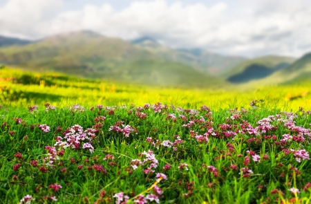 Plant of pink flower at Alpine meadow in Pyrenees photo