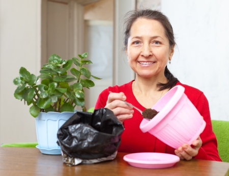 transplants: Mature woman transplants  Kalanchoe flower in flowerpot at her home Stock Photo