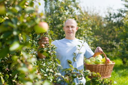 Handsome guy with basket of harvested apples in garden photo