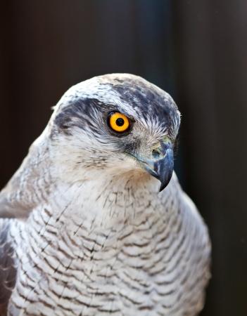 azor: vista de halc�n azor cabeza