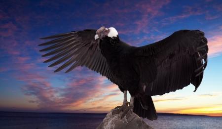 Andean condor (Vultur gryphus) against sunset sky background photo