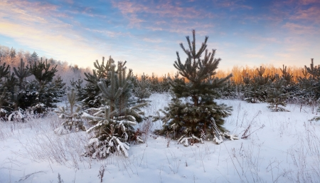 beauty wintry landscape with pines in sunrise photo