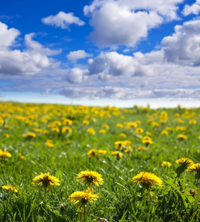 horizont: Summer landscape with dandelions on green meadow