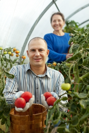 Man and woman picking tomato in greenhouse Stock Photo - 22074542