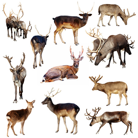 sika deer: Set of many deer  Isolated over white background Stock Photo