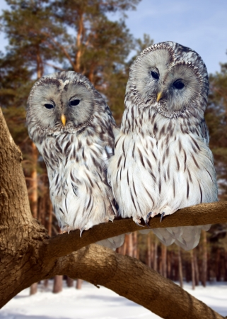 Two Great Grey Owls  on tree at pine forest in winter photo