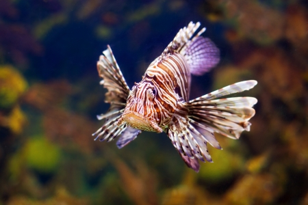 Red lionfish - venomous fish living in coral reef of tropics photo