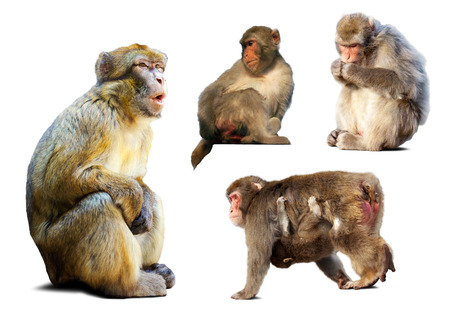 Set of few  macaques. Isolated over white background with shade photo