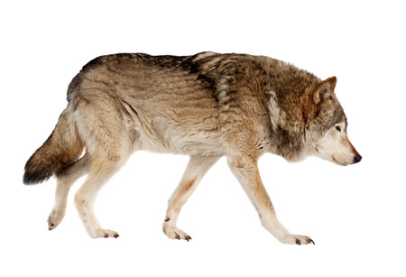 timber wolf: wolf. Isolated over white background  Stock Photo