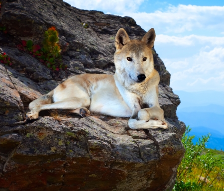 untamed: Gray wolf lays on stone in wildness mountains area Stock Photo