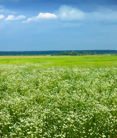 Summer landscape with camomiles on green meadow photo