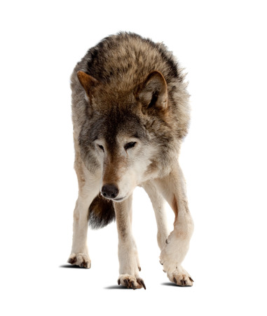 wolf. Isolated over white background with shade photo