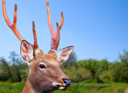 nippon: Sika deer (Cervus nippon) in wildness Stock Photo
