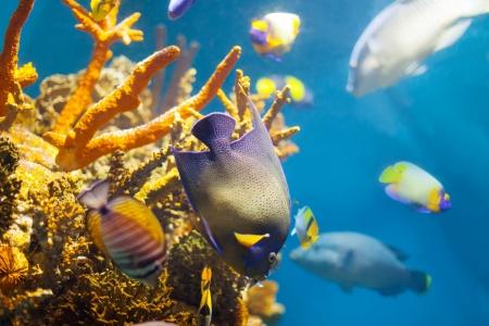 pez pecera: Peces tropicales multicolores en el arrecife de coral en agua de mar