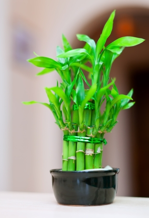 asian house plants: lucky bamboo plant in  pot at house interior