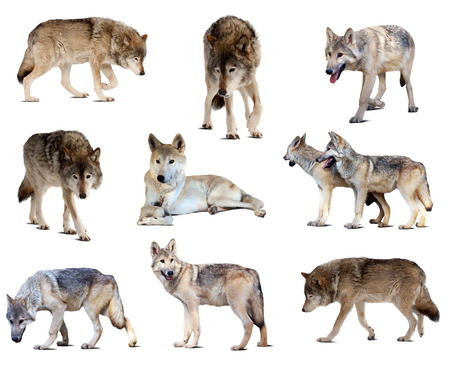 Set of gray wolves. Isolated  over white background with shade Stock Photo