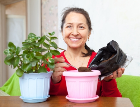 transplants: Mature woman transplants  flower in flowerpot at her home