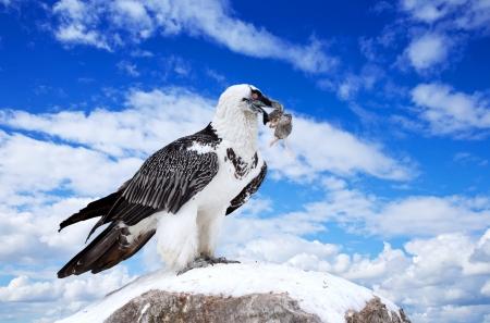 gyps: full length shot of Griffon vulture (Gyps fulvus) against sky background Stock Photo