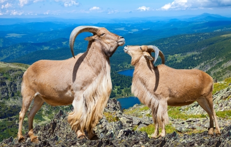 africa kiss: Pair of Standing barbary sheeps in wildness area in sunny day