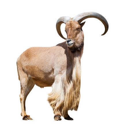 barbary: Standing male barbary sheep. Isolated over white background    Stock Photo