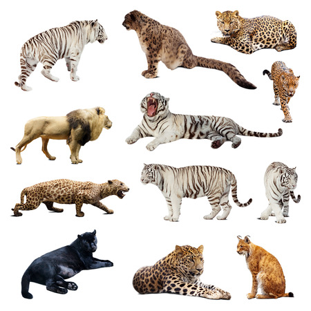 tiger white: Set of  wildcats. Isolated over white Stock Photo