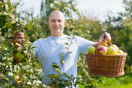 Mężczyzna w średnim wieku ze zbiorów jabłek w sadzie
