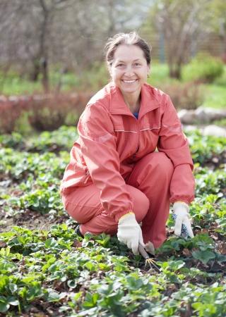 Rijpe vrouw los te maken van de aardbeien in het voorjaar de tuin