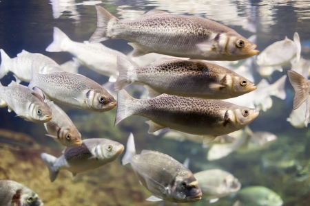 reefscape:  stock of Thicklip grey mullet at water Stock Photo