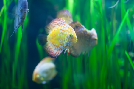 discus: discus fish in the grass at water