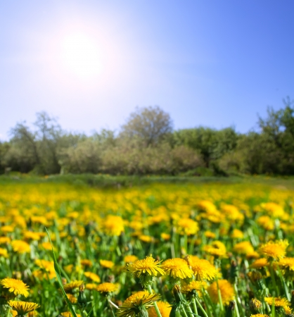 simplest: Summer landscape with dandelions meadow in sunny summer day