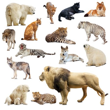 catamountain: Set of predatory animals. Isolated over white background with shade Stock Photo