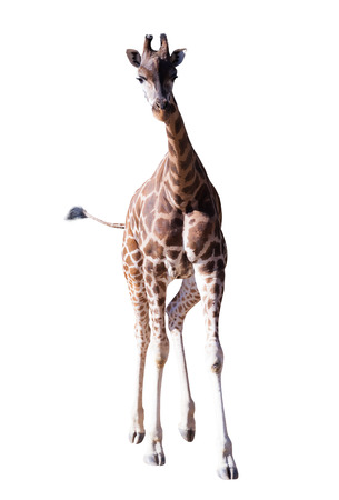 Front view of walking giraffe. Isolated over white background photo