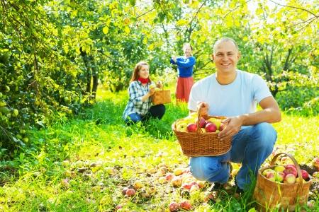 gathers: Famiglia felice che raccoglie le mele nel giardino