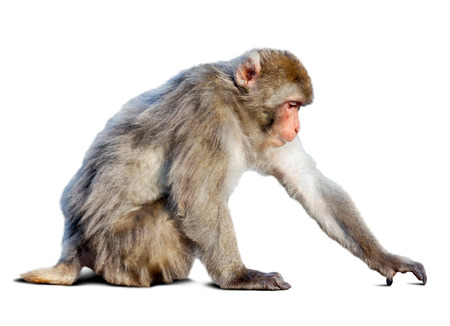 Japanese macaque (Macaca fuscata)  over white background with shade