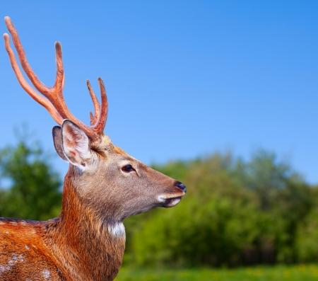 nippon: Head of Sika deer (Cervus nippon) in wildness Stock Photo