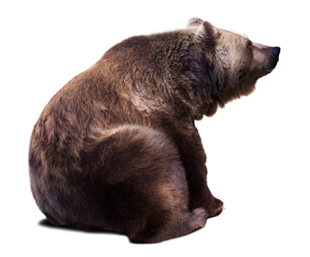 Sitting brown bear. Isolated  over white background with shade Фото со стока