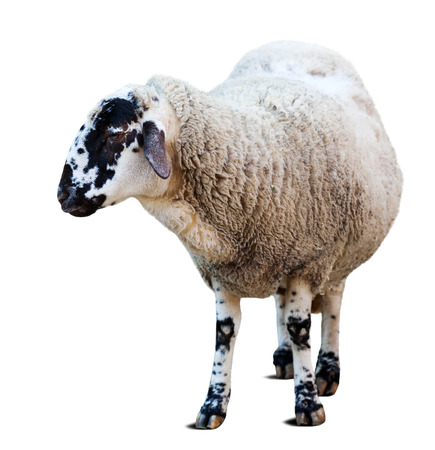 Farm sheep. Isolated over white background with shade