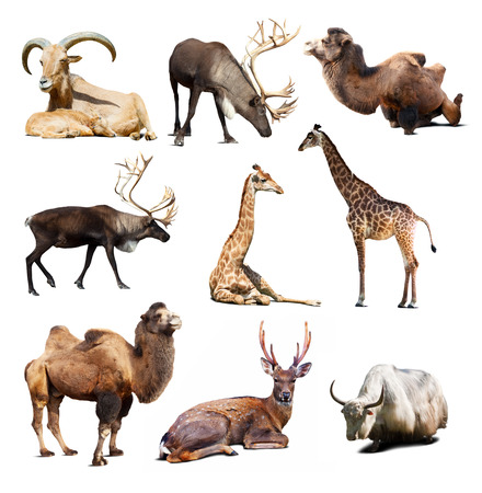 Set of Artiodactyla mammal animals. Nine different animals over white background with shadows photo