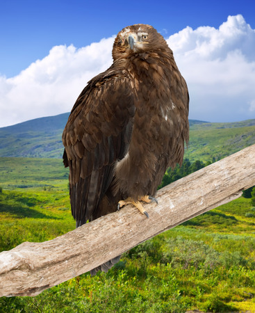 wildness: eagle on on wood trunk  against wildness background Stock Photo