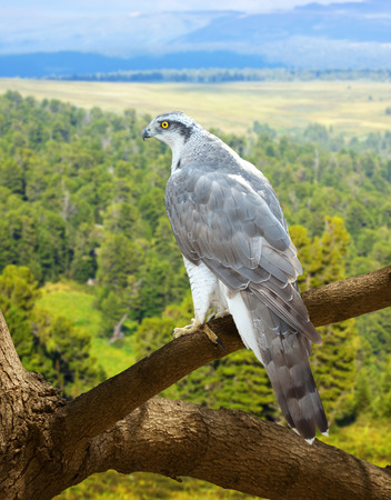 wildness: Goshawk on wood trunk in wildness area Stock Photo
