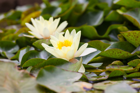 nymphaeaceae: White Nymphaeaceae, growing in the quiet waters of lake Stock Photo