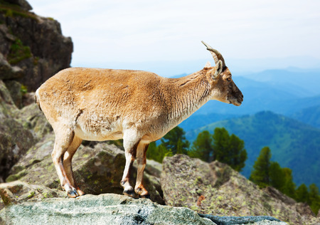 wildness: Standing barbary sheep in wildness  Stock Photo