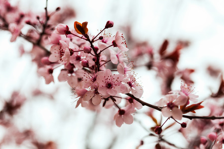 almond  branch with flowers against blur spring foliage background   photo