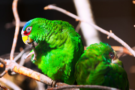 the two parrots: Two parrots - amazon white-fronted