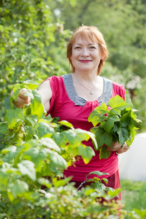 gathers: Mature woman gathers raspberry leaves in spring garden