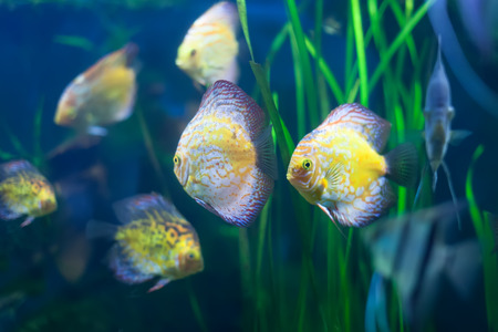 discus: Few discus fish in the grass at water