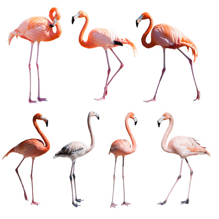 Set of Flamingoes. Isolated over white background Zdjęcie Seryjne
