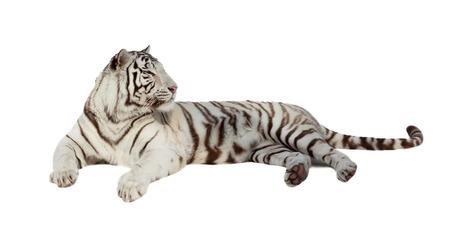 tigre blanc: couché tigre blanc. Isolé sur fond blanc avec l'ombre