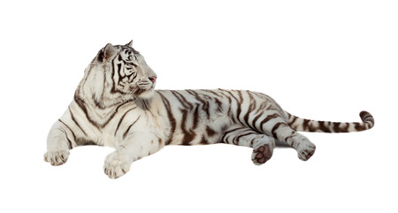 tiger white: lying white tiger. Isolated  over white background with shade